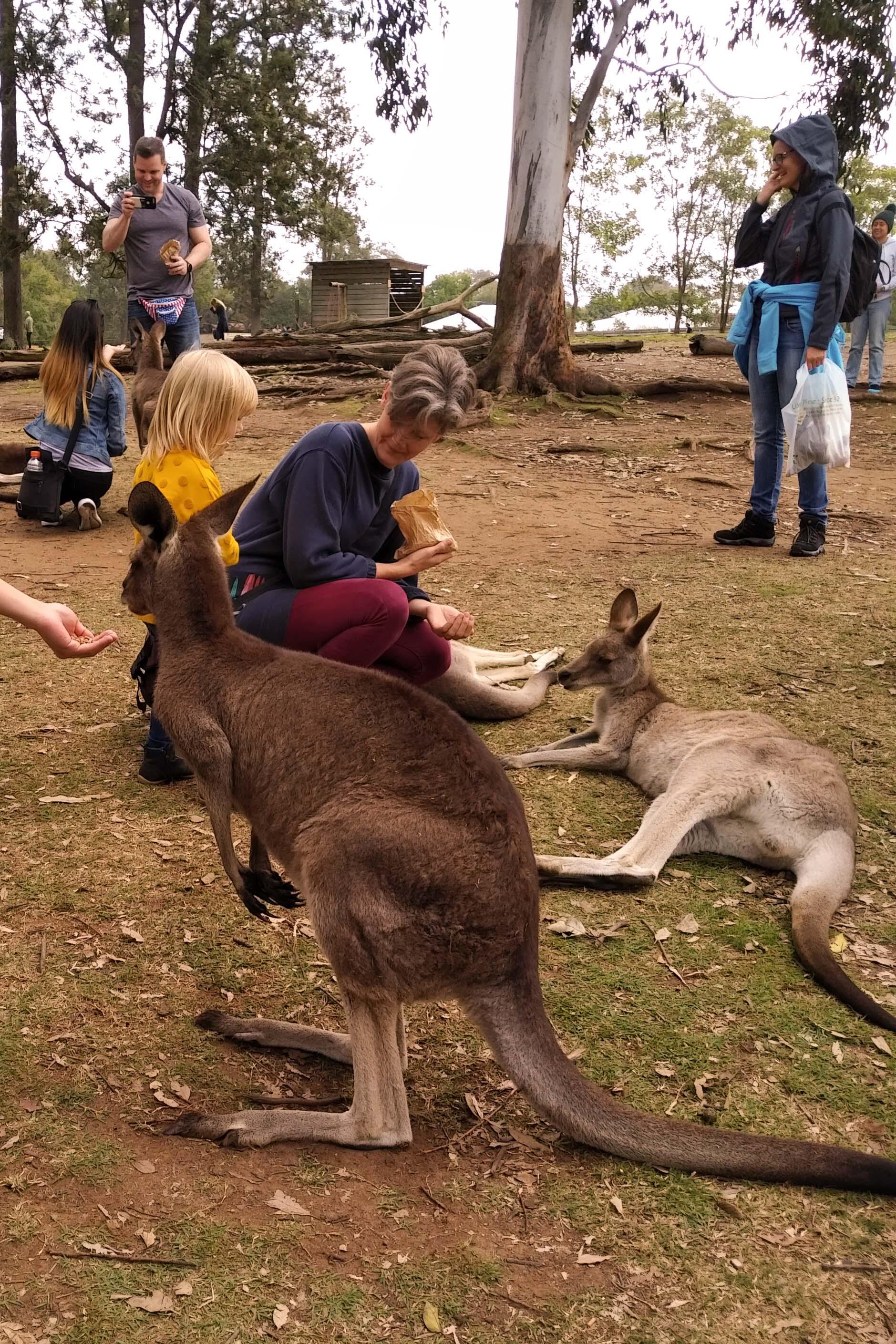 Kangaroo at Lone Pine Koala Sanctuary