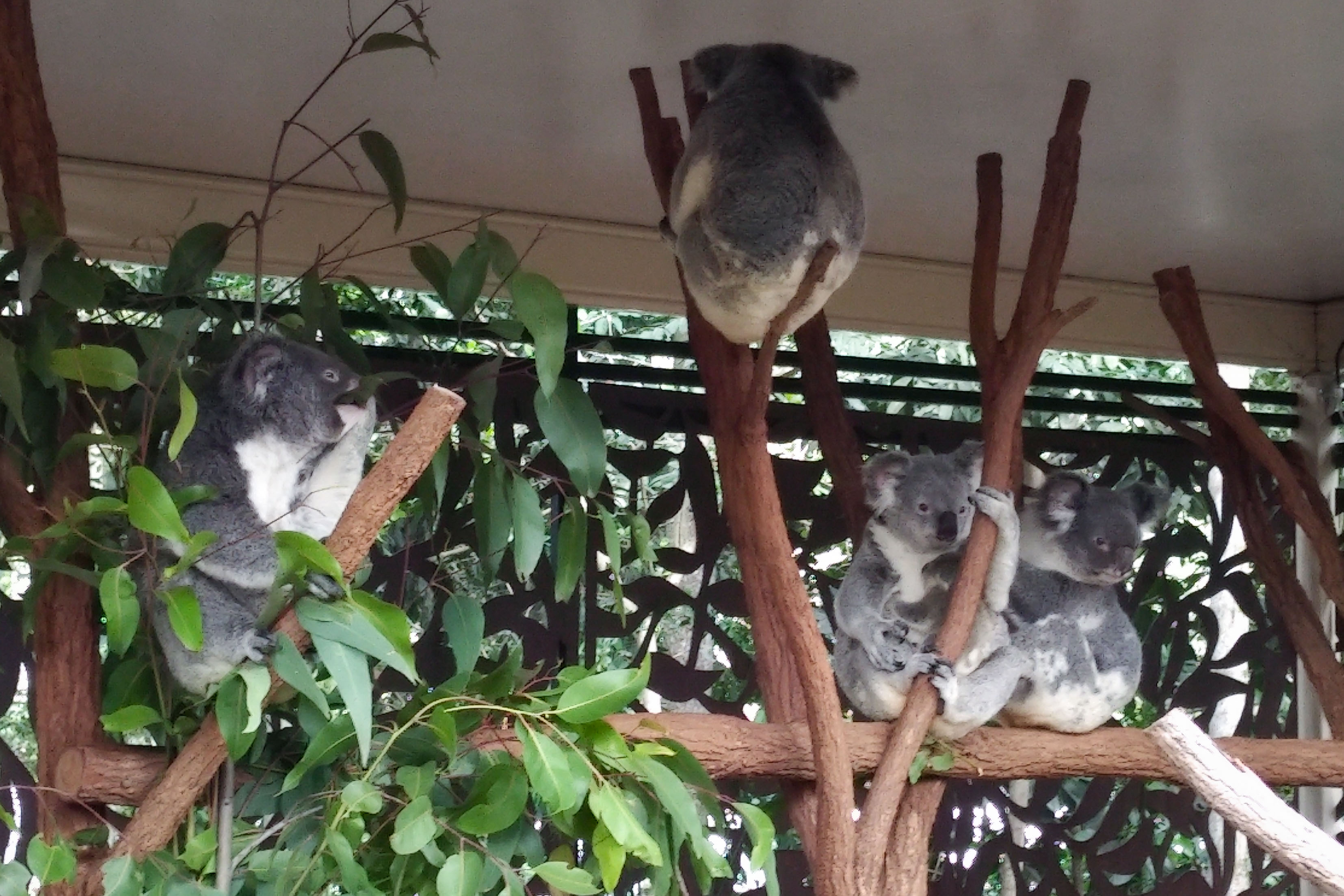 Brisbane Lone Pine Koala Sanctuary